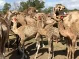 Livestock, ox gallstone and ostrich chicks - photo 4